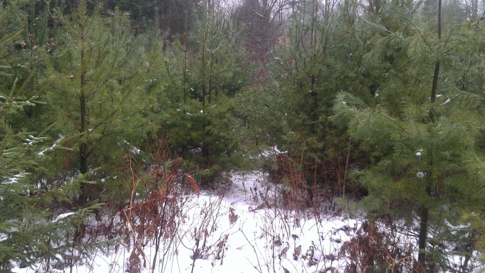 The overgrown logging road.  Andrew is somewhere in those white pines.