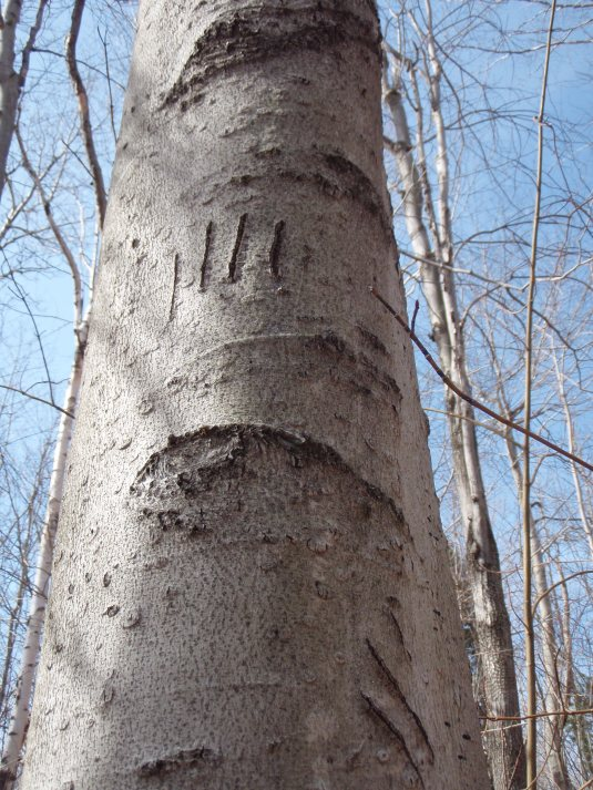 Bear claw marks on a beech tree.