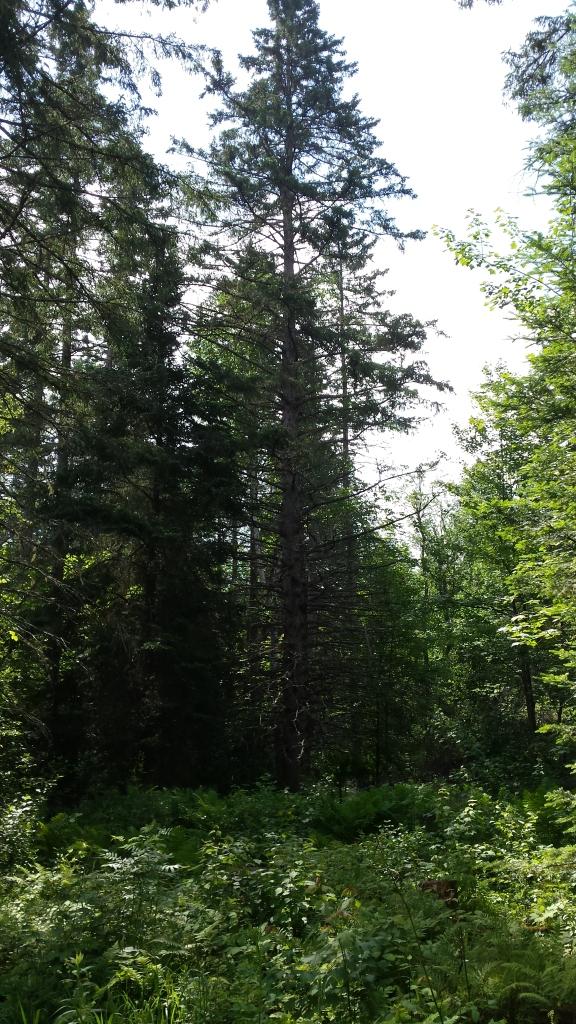 The champion black spruce tree.