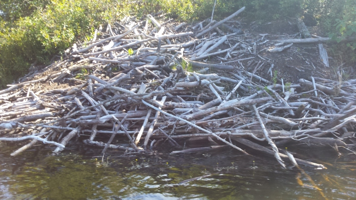 A beaver lodge on the side of one of the islands.